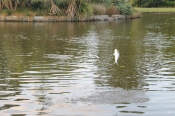 The flying fish in the pond of the Botanical Gardens.